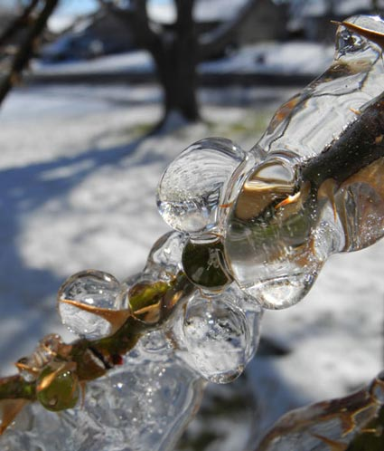 Icy branch in Reno, Nevada, NV