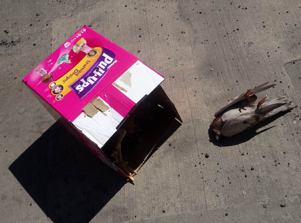 Dead chicken in Huggies Pullups box with dead pigeon nys