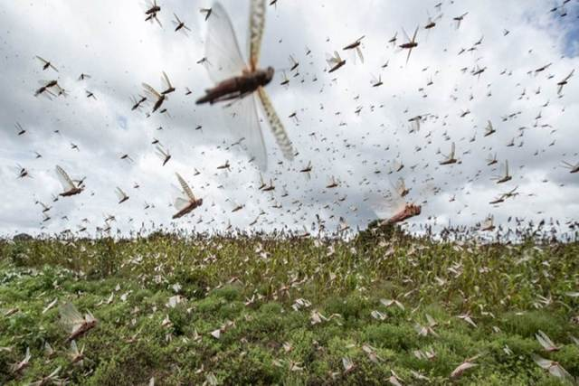 Indian government warms 6 states as more locust swarms can attack, high alert