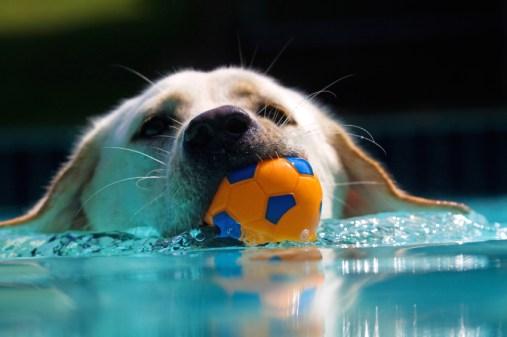 Labrador Retriving Ball