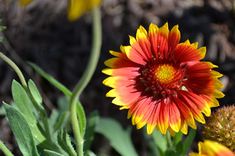Goblin Blanket Flower Gaillardia