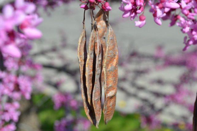 Eastern Redbud Seed Pod