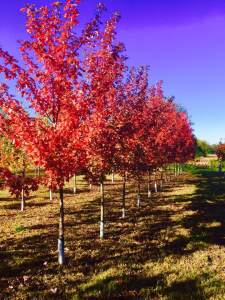 fall nursery trees