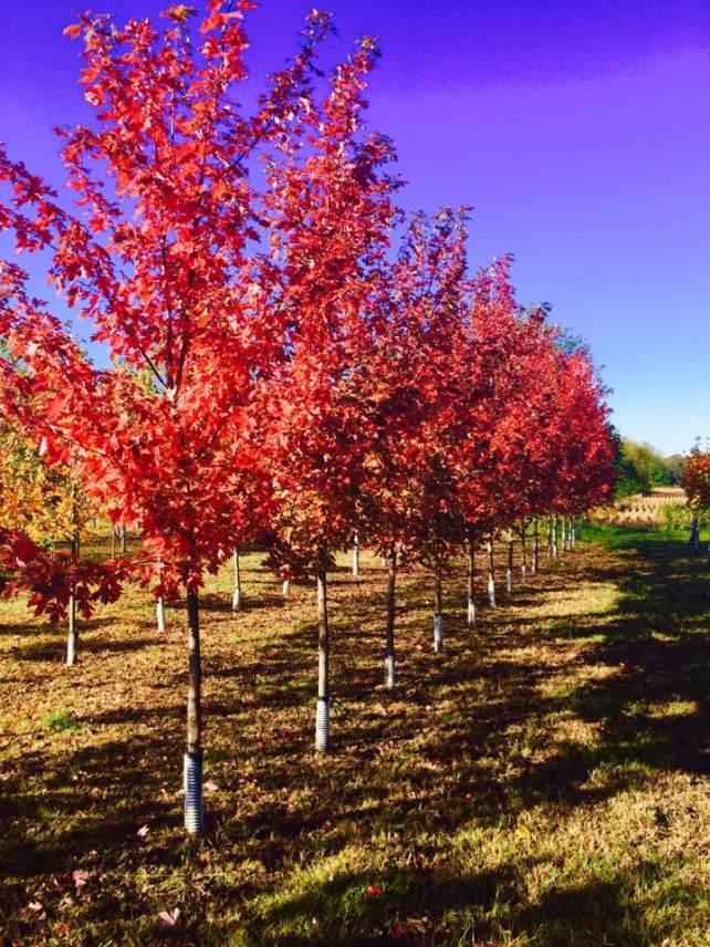 nursery trees