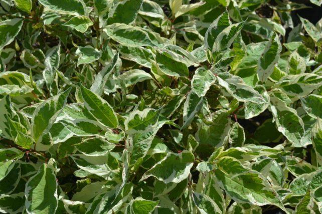 Ivory Halo Dogwood Foliage