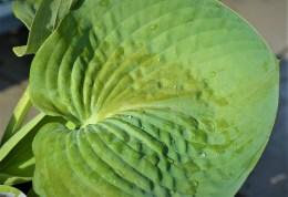 Big-Daddy-Hosta-Leaf
