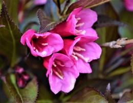 Dark Horse Weigela Flowers