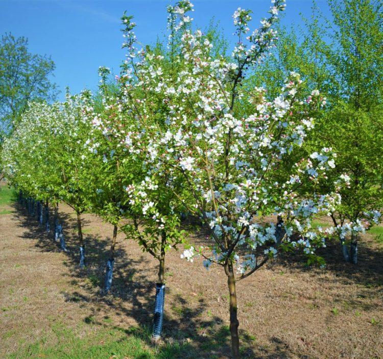 Donald Wyman Crabapple Trees