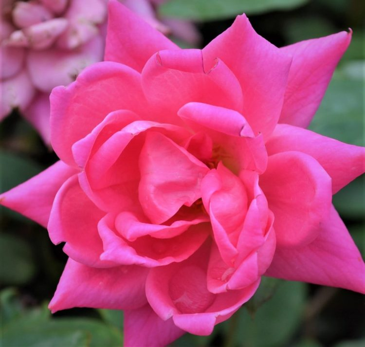 Double Knock Out Pink Rose