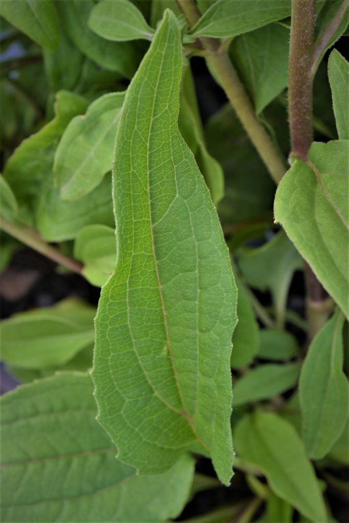 Double Scoop Cranberry Coneflower Leaves