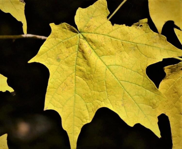 Emerald-Lustre-Maple-Leaves-new