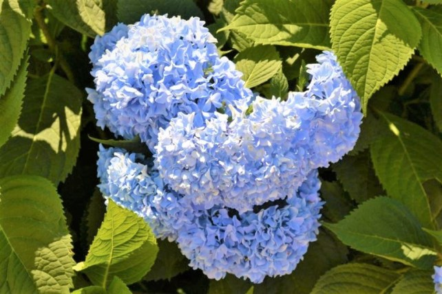 Endless-Summer-Hydrangea-Blue