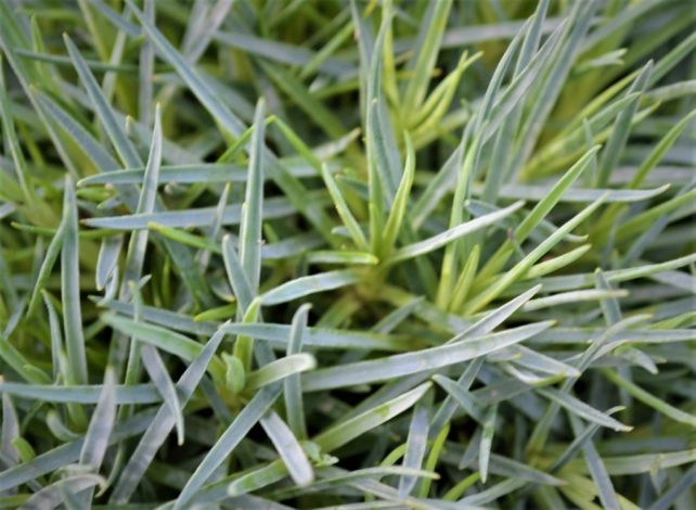 Firewitch Dianthus Leaves