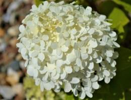 Little Lime Hydrangea-Flower