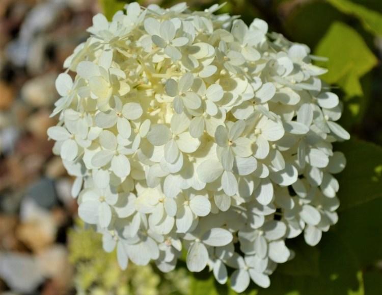 Limelight-Hydrangea-Flower