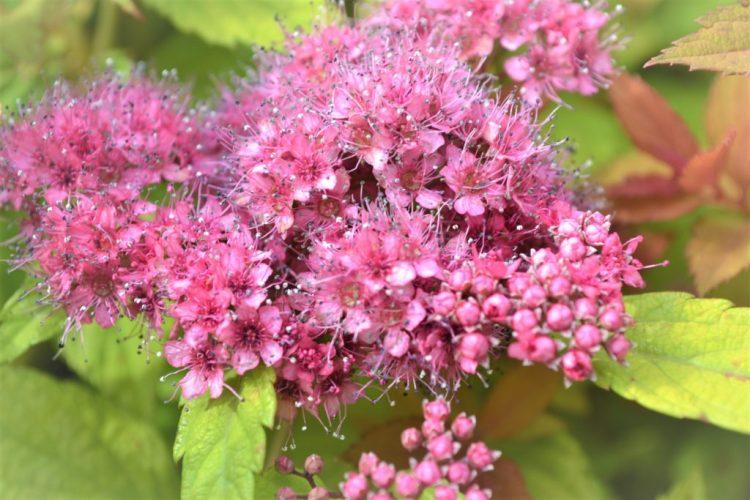 Magic Carpet Spirea Flowers
