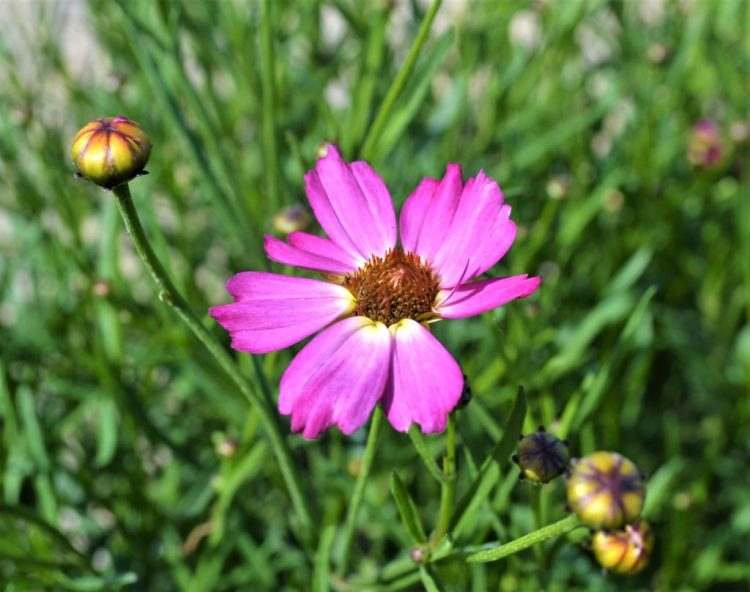 Pink Sapphire Coreopsis
