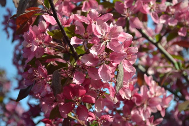 Profusion Crabapple Flowers