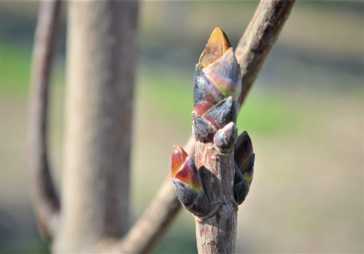 Royal Red Maple Buds