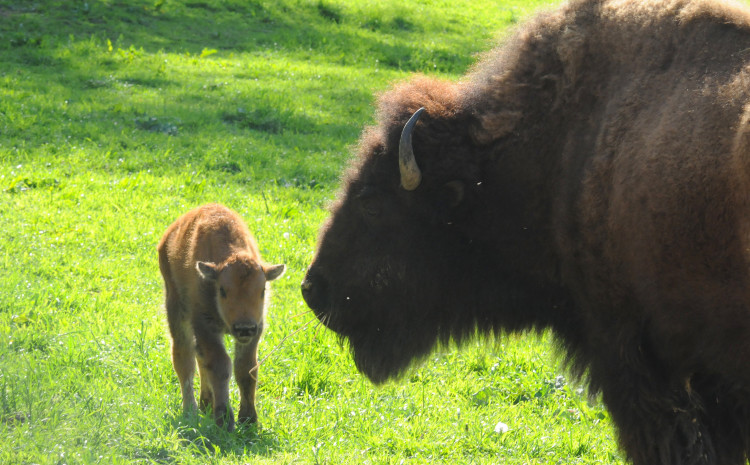 Bison at South Park. Photo by Michele Fetting.