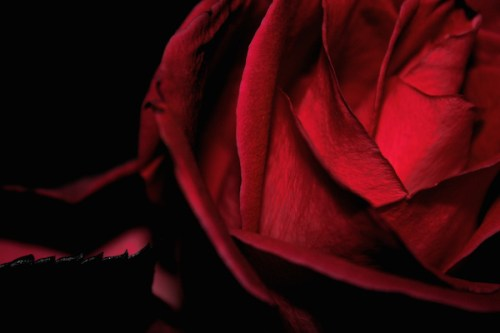Amour de Minuit Dark Romantic Red Rose Detail