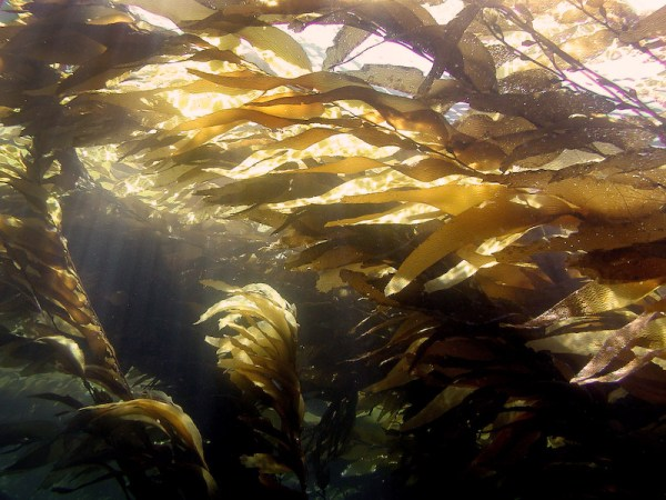 Kelp In Sunlight