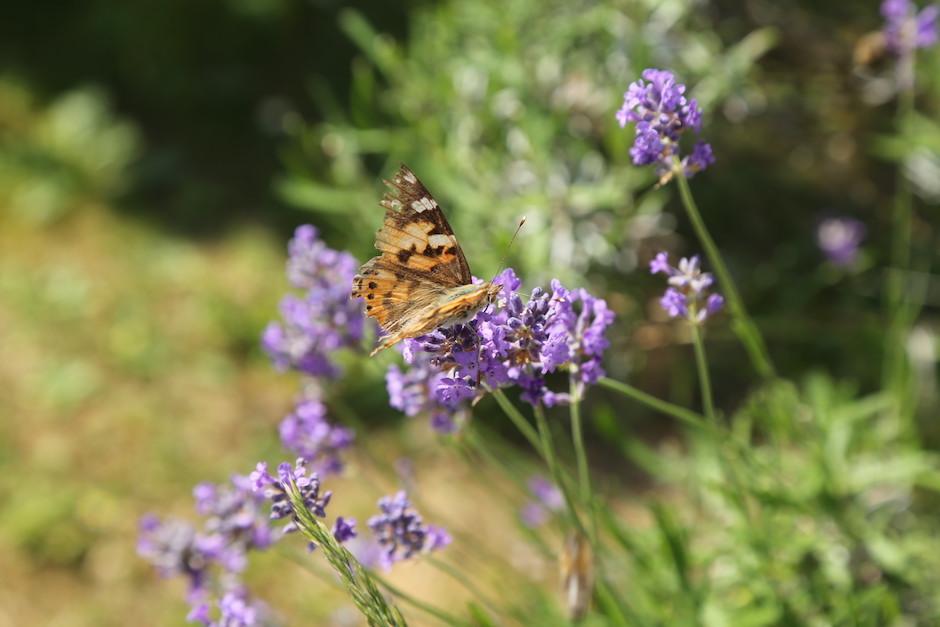 Orange, schwarzer Schmetterling auf einer Lavendelblüte - rundherum noch mehrere Lavendelblüten. Im Hintergrund grüne Wiese leicht verschwommen