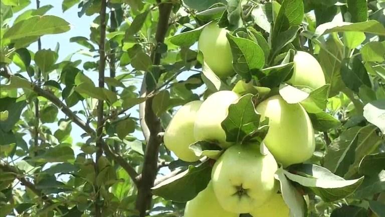 do apples grow in jos nigeria