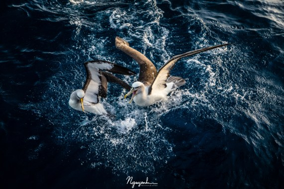 Grey-headed and shy albatrosses fighting for food as they walked on water