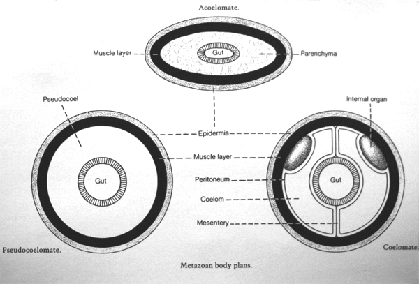 Natural History Collections Evolution Of The Minor Phyla