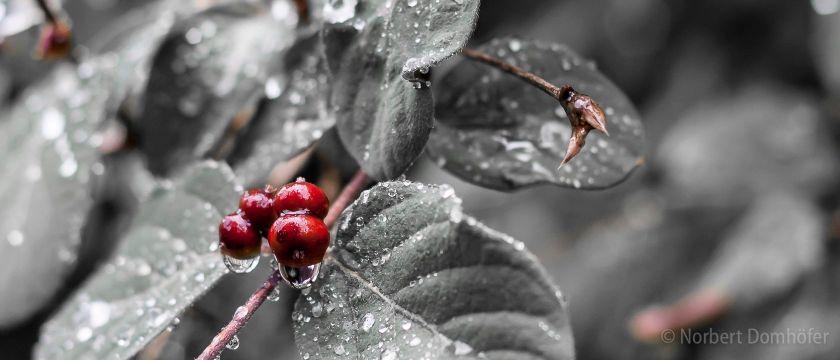 Blätter im Regen © Norbert Domhoefer / nhd-photo.de