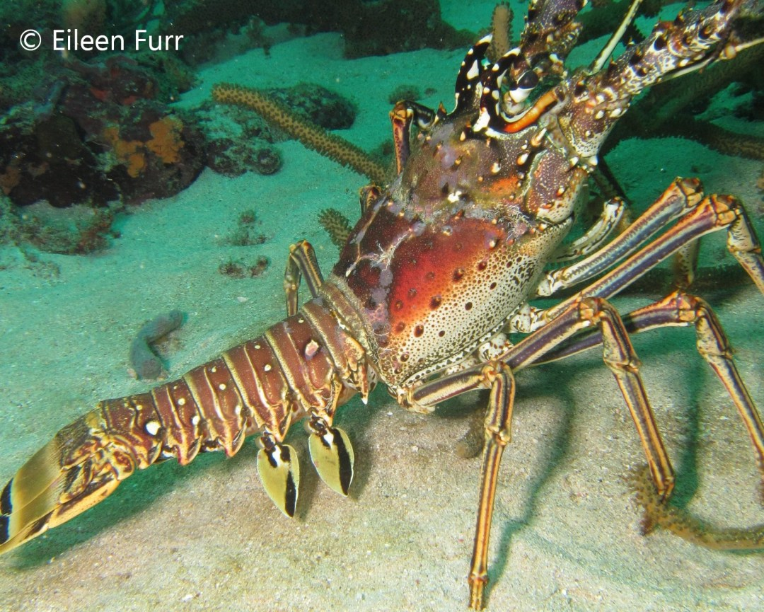 Diving the Caribbean (and Atlantic) - Lobster