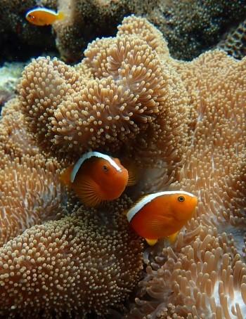 Philippines - Anenome Fish
