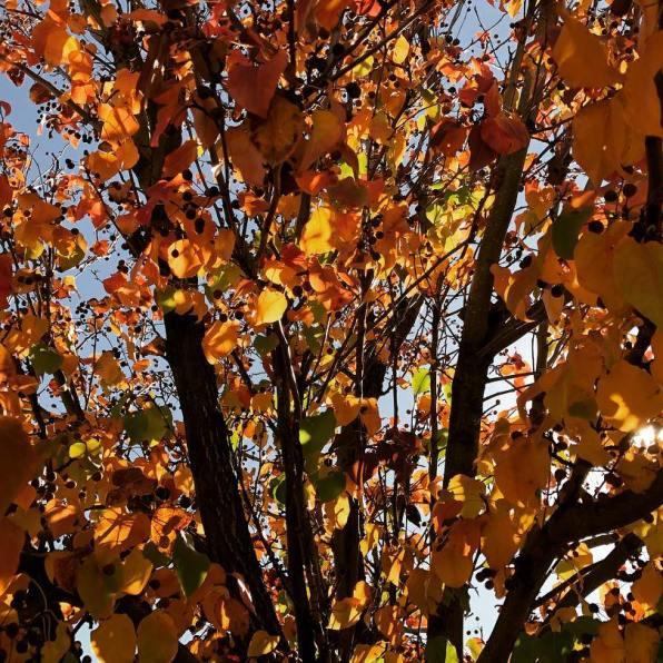 193 Sun Hawk tree