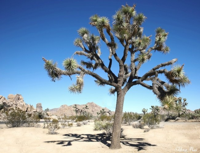 mai-2016-calif-joshua-tree-1v1-p-p