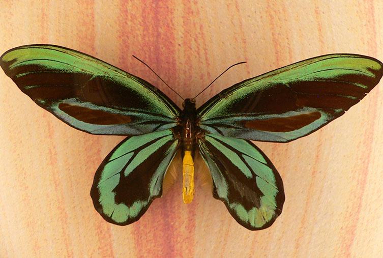 Bright green Queen Alexandra's birdwing butterflies