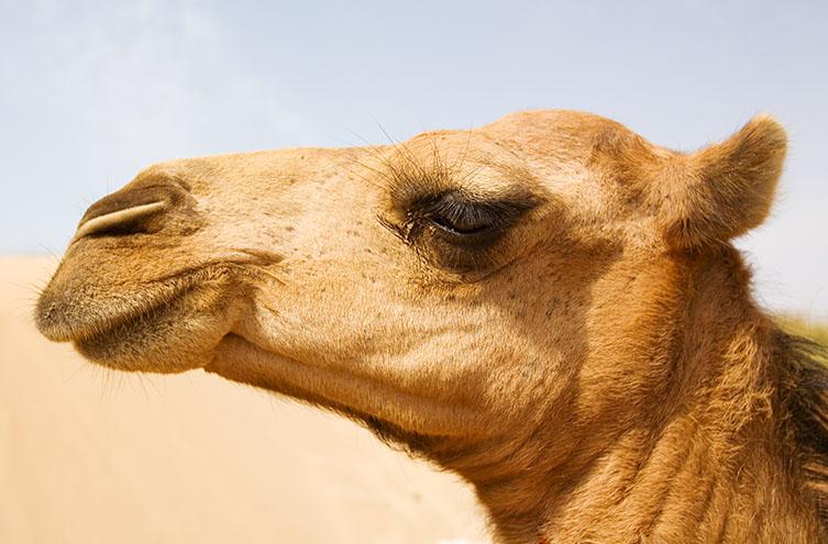 Camel eyes