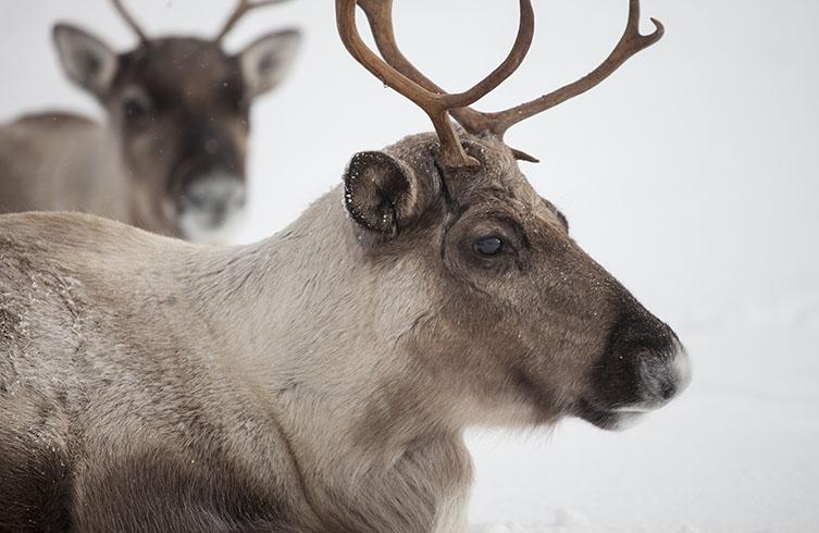 Reindeer eyes