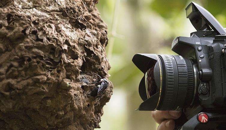 Une caméra prend une photo de l'abeille géante de Wallace sur un termitier