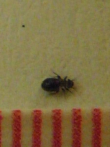 Natureplus Tiny Black Beetles Everywhere What Are They