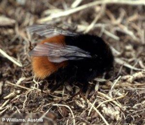 B. alpinus