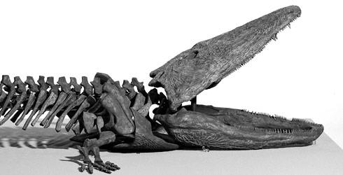 Paracyclotosaurus davidi fossil.