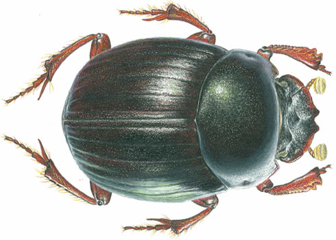 Illustration of the dung beetle named Canthidium darwini, discovered on a Museum-led expedition to Costa Rica