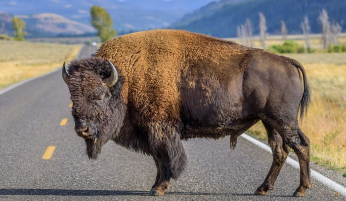 California woman gored by bison at Yellowstone National Park after getting within 10 feet to take photos