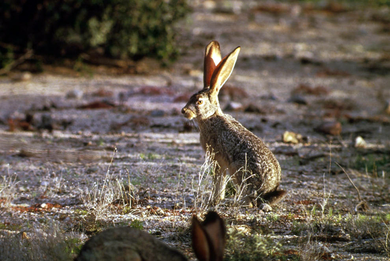 Image result for black-tailed jackrabbit
