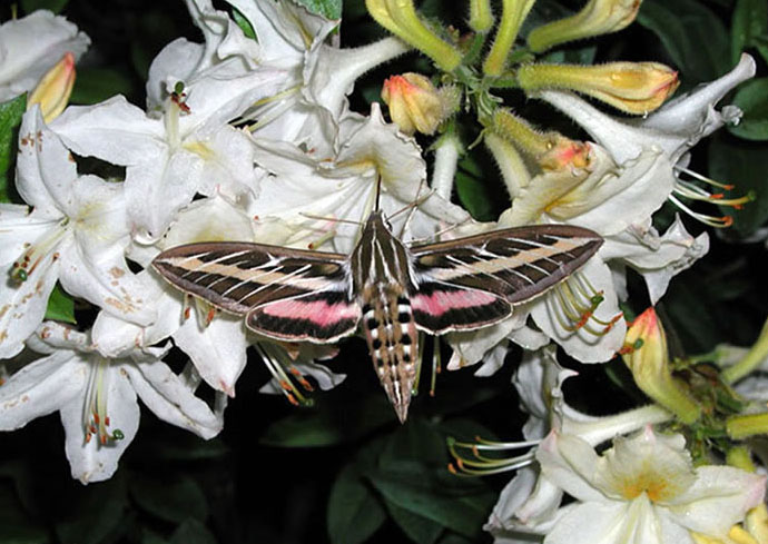 Image result for wild cherry sphinx moth