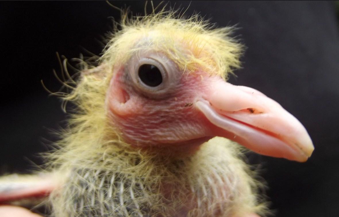 Baby Pigeons Nicefarming Com
