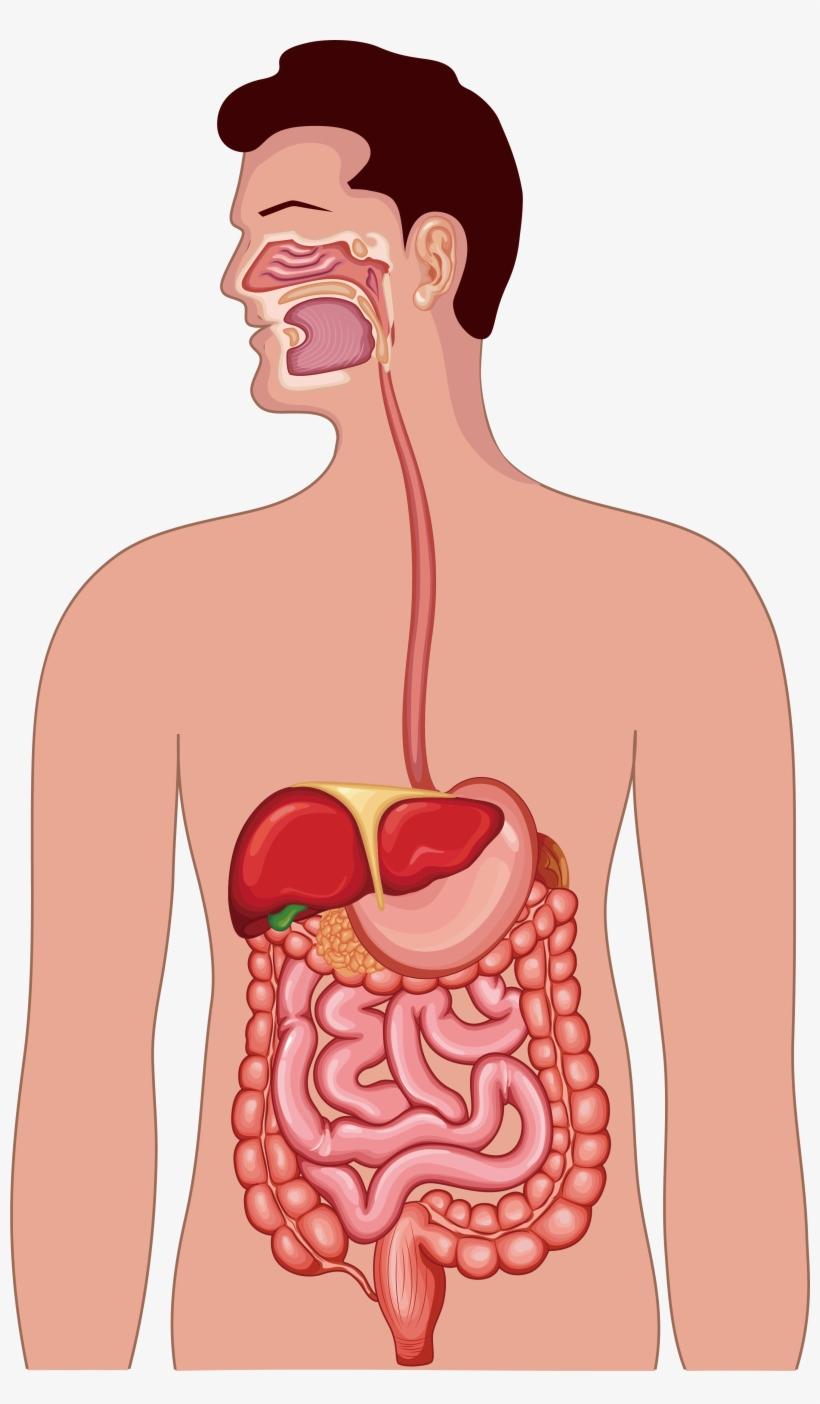 CRMla: Digestive System Clipart