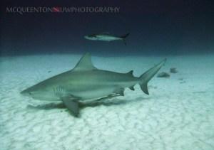 Pregnant bull shark. c/ MC Queenton