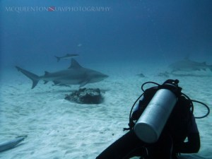 Diver and bull sharks. c/ MC Queenton
